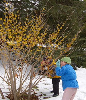 Winter Witchhazel Walk